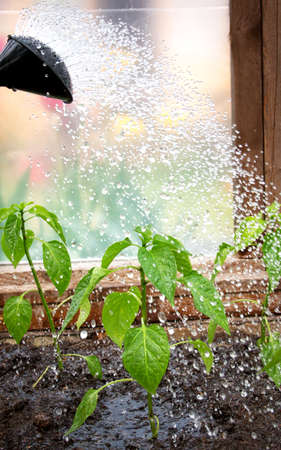 Water drops falling on pepper seedling in greenhouse photo