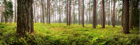 Lahemaa national park forest panorama in early september Stock Photo