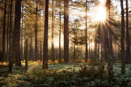 Los bosques de coníferas con el sol de la mañana brilla en la mañana
