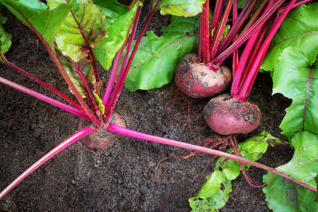 leaf vegetable: Ripe red beetroot laying on the ground