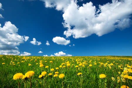 Field with yellow dandelions and blue sky Archivio Fotografico