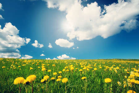 Field with yellow dandelions and blue sky Stok Fotoğraf