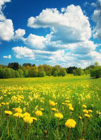 Feld mit gelben Löwenzahn und blauer Himmel