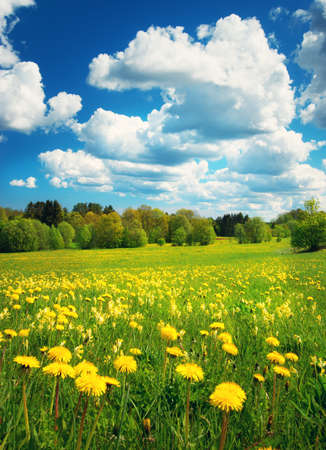 field flower: Field with yellow dandelions and blue sky Stock Photo