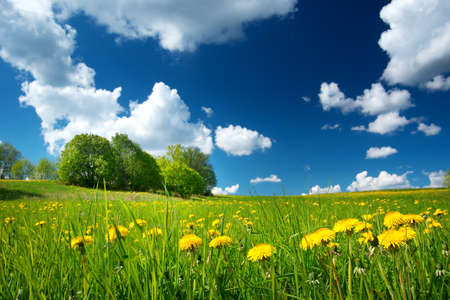 estonia: Field with yellow dandelions and blue sky Stock Photo