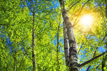 birch tree foliage in morning light with sunlight
