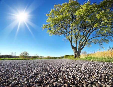 elm: Elm tree on the road side in summer