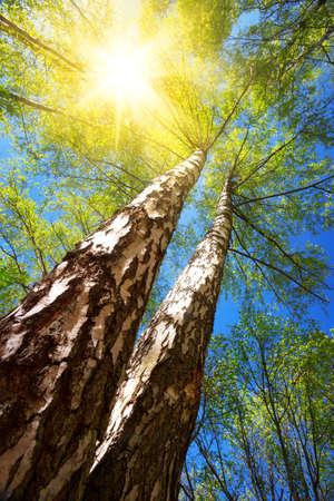 primavera: follaje de los árboles de abedul en la luz de la mañana con la luz del sol