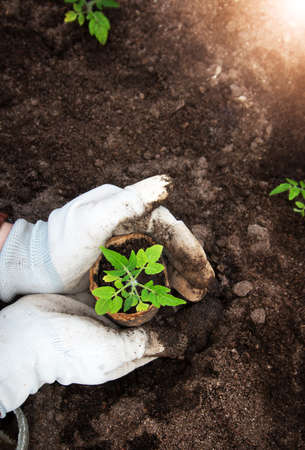 Hands putting tomato seedling into the soil