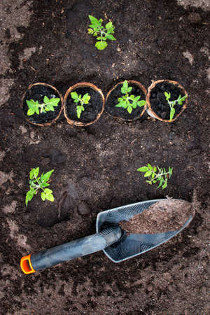 seedling: tomato seedlings and shovel on black soil in greenhouse Stock Photo