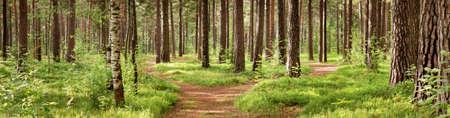 여름에 소나무 숲 파노라마입니다. 공원의 통로 스톡 콘텐츠