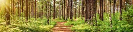 Panorama del bosque de pinos en verano. Camino en el parque Foto de archivo - 61105363