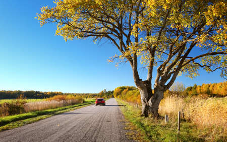 Elm tree on the road side in autumn. Car on asphalt road in october
