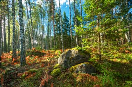 birch and fir forest panorama in autumn Stock Photo - 63246243