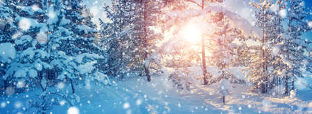 snowscape: Pine trees covered with snow on frosty evening. Beautiful winter panorama at snowfall Stock Photo