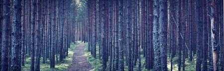 woodland  horror: Pine tree forest at night with path going throuhg Stock Photo