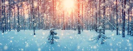 소나무 서리가 내린 저녁에 눈으로 덮여있다. 아름다운 겨울 파노라마