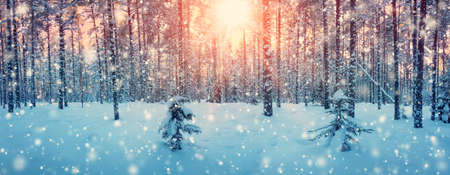 Pine trees covered with snow on frosty evening. Beautiful winter panorama Reklamní fotografie