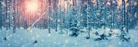snowscape: Pine trees covered with snow on frosty evening. Beautiful winter panorama Stock Photo