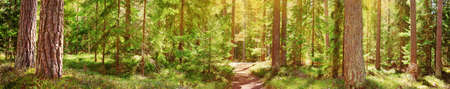 pine and fir forest panorama Stock Photo - 77749160