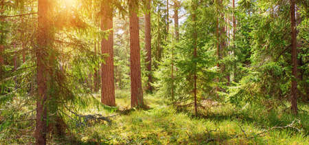 pine and fir forest panorama Stock Photo