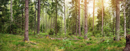 pine and fir forest panorama Stock Photo - 79344430