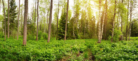 pine forest panorama Stock Photo - 79582514