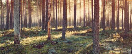 빛나는 아침 해가있는 구과 맺는 숲