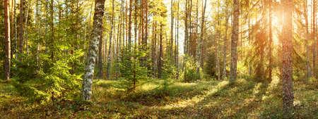 朝太陽を輝かせて針葉樹林