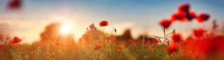Beautiful poppy flowers on the field