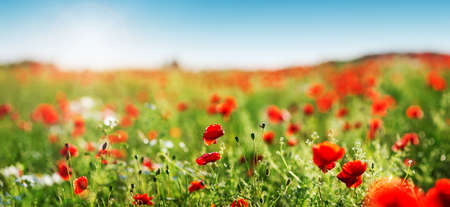 Beautiful poppy flowers on the field