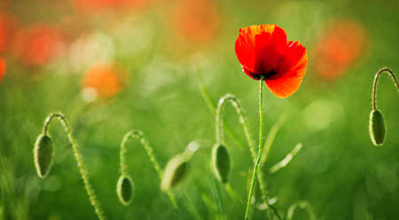 필드에 아름 다운 양 귀 비 꽃