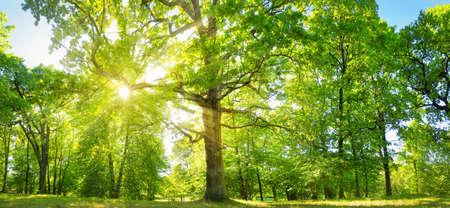 Foglie di albero nella luce del mattino Archivio Fotografico - 82974024