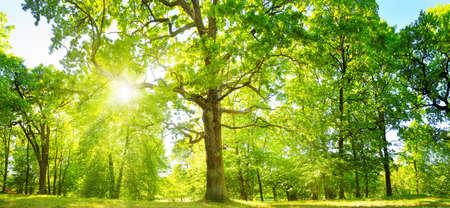 oud eiken boomgebladerte in ochtendlicht met zonlicht
