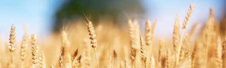 밀밭 배경 스톡 콘텐츠 - 84131545