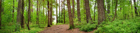 pine forest panorama Stock Photo - 85208510