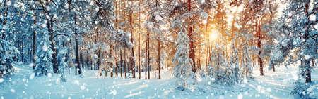 雪で覆われた松の木