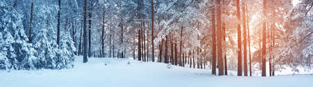 Pine trees covered with snow 免版税图像 - 88681929