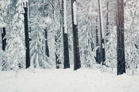 Kiefer bedeckt mit Schnee Standard-Bild - 88569593