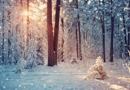 雪に覆われた松の木 写真素材