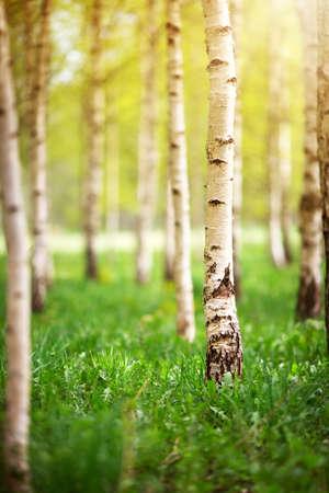 朝の白樺の木の森 写真素材