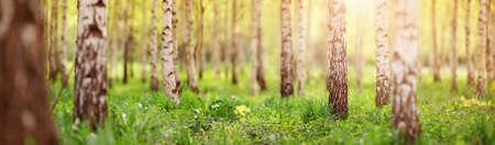朝のバーチの木の森