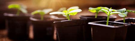 cucumber seedlings in pots 版權商用圖片