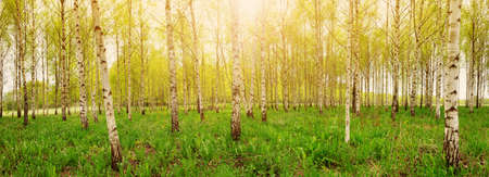 birch tree forest in morning