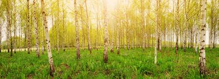 Foresta di betulle in mattinata Archivio Fotografico - 93406154