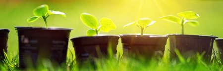cucumber seedlings in pots Banco de Imagens