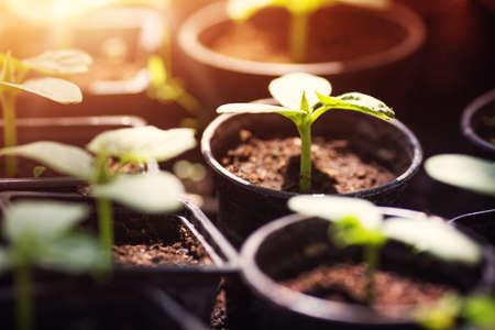 cucumber seedlings in pots Фото со стока