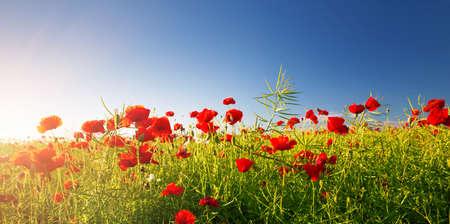 Mooie poppy bloemen op het veld