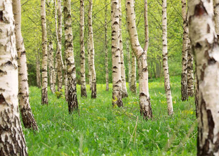 birch tree forest in morning 写真素材 - 98955913