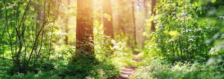 pine and fir forest panorama Standard-Bild
